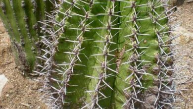 Photo of Soins de la plante Ferocactus peninsulae ou Ferocactus horridus