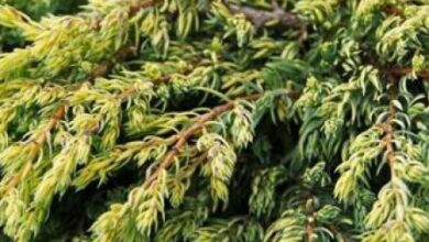 Photo of Soins de la plante Juniperus californica