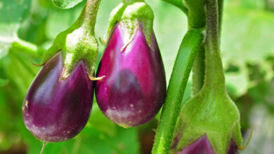Photo of Soins de la Solanum melongena o melanzana