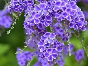 Photo of Soins des plantes Duranta repens, Duranta erecta o Heavenly flower