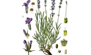 Photo of Soins des plantes Lavandula dentata, Lavande o Lavande