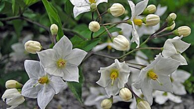 Photo of Solanum jasminoides Gelsomino notturno falso