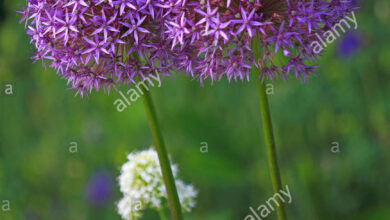 Photo of Stella persiana Allium christophii
