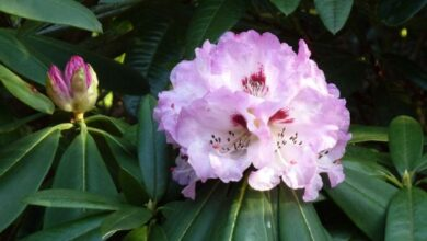 Photo of Su-Chuen Rhododendron, Sichuan Rhododendron