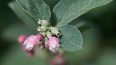Photo of Symphoricarpos Symphorine, Perrier