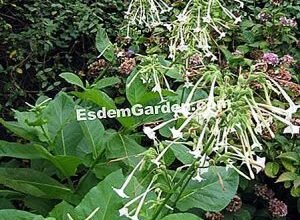 Photo of Tabacco gigante Nicotiana sylvestris, tabacco silvatico