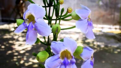 Photo of Thunbergia grandiflora Thunbergy, trombe del Bengala