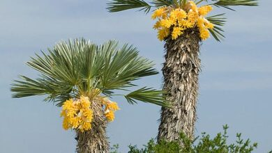 Photo of Trithrinax campestris Trident Palm