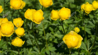 Photo of Trollius europaeus Golden Ball, Carrello europeo, Carrello da montagna