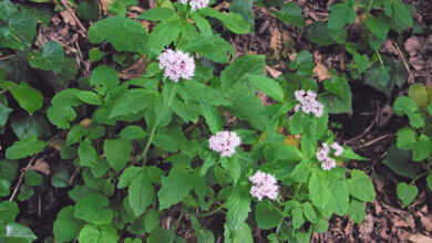 Photo of Valeriana officinalis, pianta di interesse medicinale