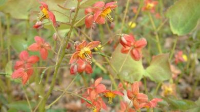 Photo of Warleyense Goblin Flower