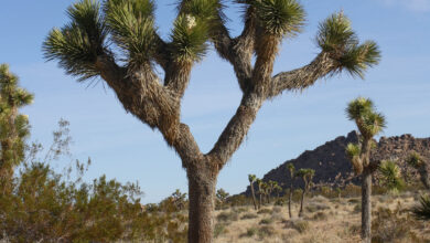 Photo of Yucca brevifolia Joshua Tree
