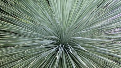 Photo of Yucca linearifolia Yucca linear leaf