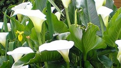 Photo of Zantedeschia aethiopica, une plante qui a tout
