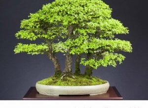 Photo of Zelkova sinica Zelkova dalla Cina, falso olmo