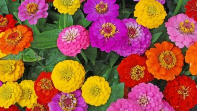 Photo of Zinnia Zinnia