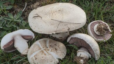 Photo of Agaricus litoralis