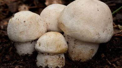 Photo of Agaricus urinascens