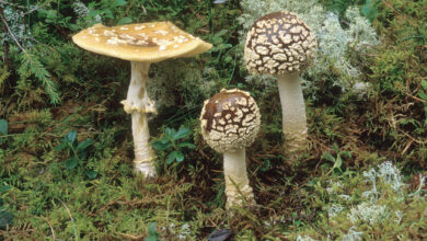 Photo of Amanita regalis