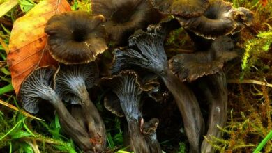 Photo of Cantharellus cinereus