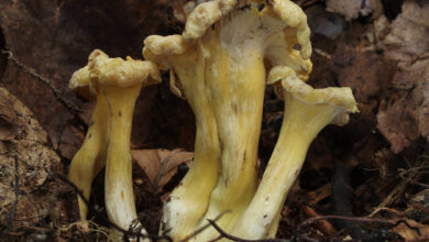 Photo of Cantharellus melanoxeros
