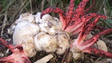 Photo of Clathrus archeri