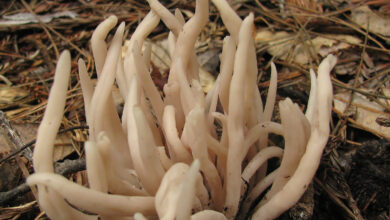 Photo of Clavaria fumosa