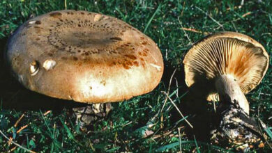 Photo of Clitocybe alexandri