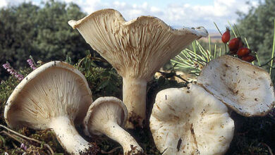 Photo of Clitocybe candida