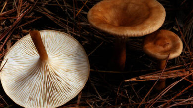 Photo of Clitocybe gibba