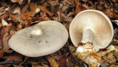 Photo of Clitocybe nebularis