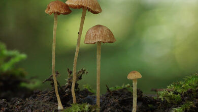 Photo of Conocybe mairei