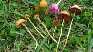 Photo of Conocybe tenera