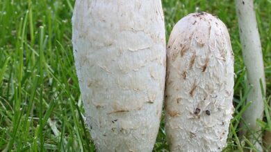 Photo of Coprinus comatus