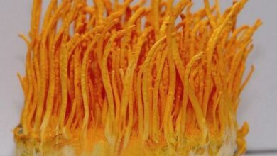 Photo of Cordyceps militaris