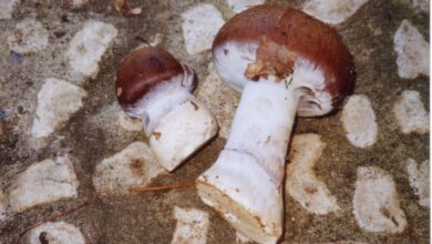Photo of Cortinarius praestans