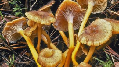 Photo of Craterellus tubaeformis