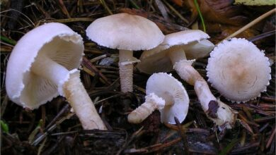 Photo of Cystoderma carcharias