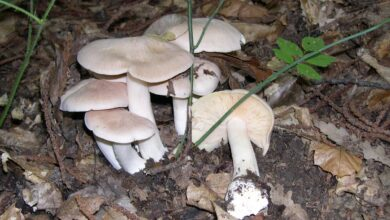 Photo of Entoloma sinuatum