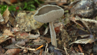 Photo of Helvella macropus