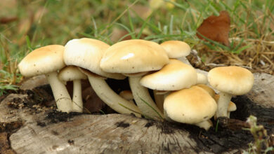 Photo of Igrocybe clorofana