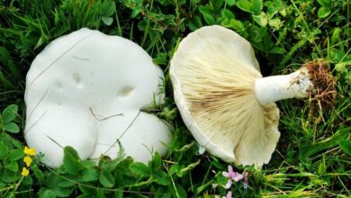 Photo of Leucopaxillus paradosso