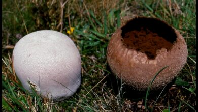 Photo of Lycoperdon utriforme