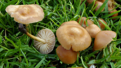 Photo of Marasmius oreades