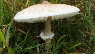 Photo of Mastoide macrolepiota