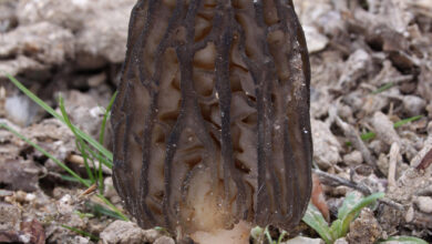 Photo of Morchella elata