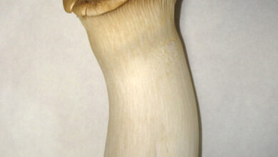 Photo of Pleurotus eryngii
