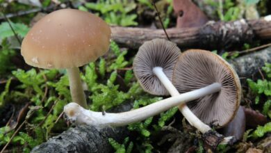 Photo of Psathyrella spadixogrisea