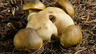 Photo of Pseudoboletus parasiticus
