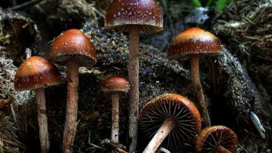 Photo of Psilocybe coprofila